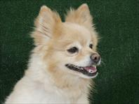 Light Colored Chihuahua Pomeranian