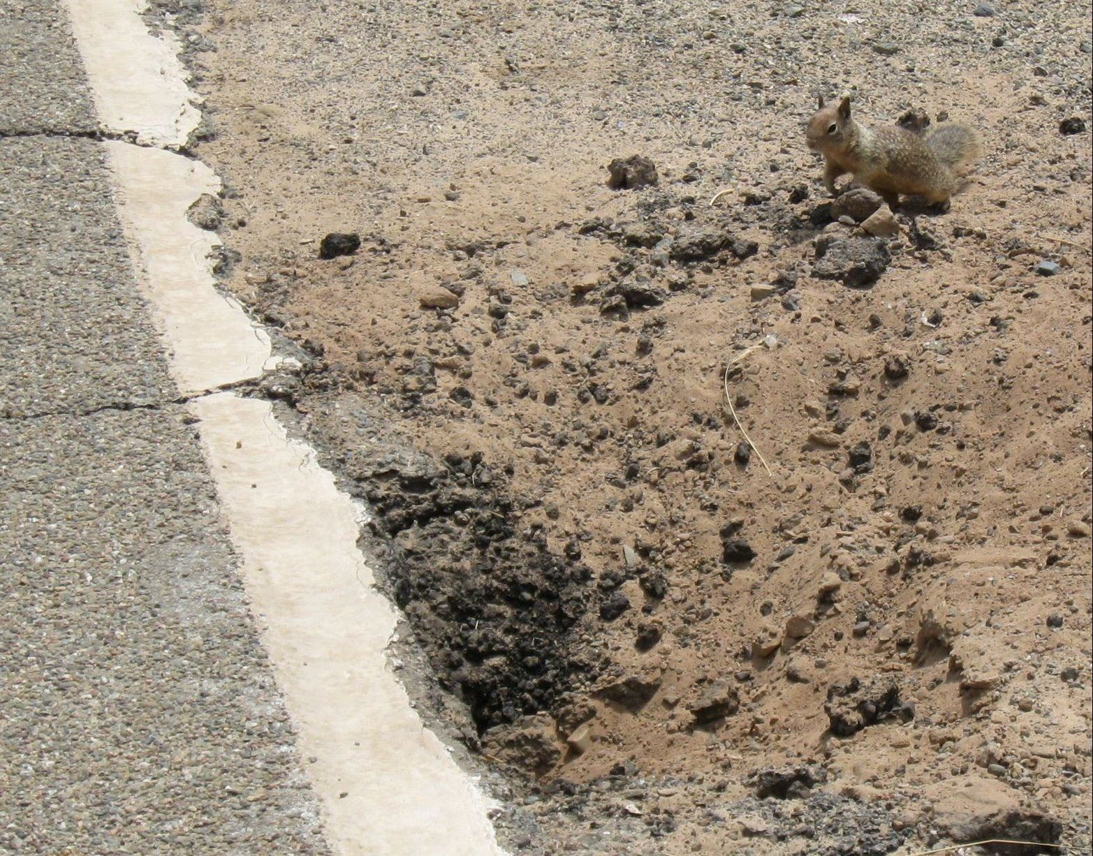 Ground squirrel and burrow opening next to a cracking roadside