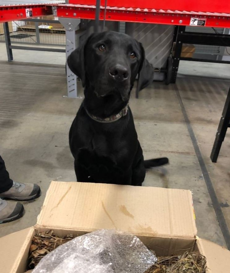 Canine detector Major next to a shipment of illegal opium poppies from overseas